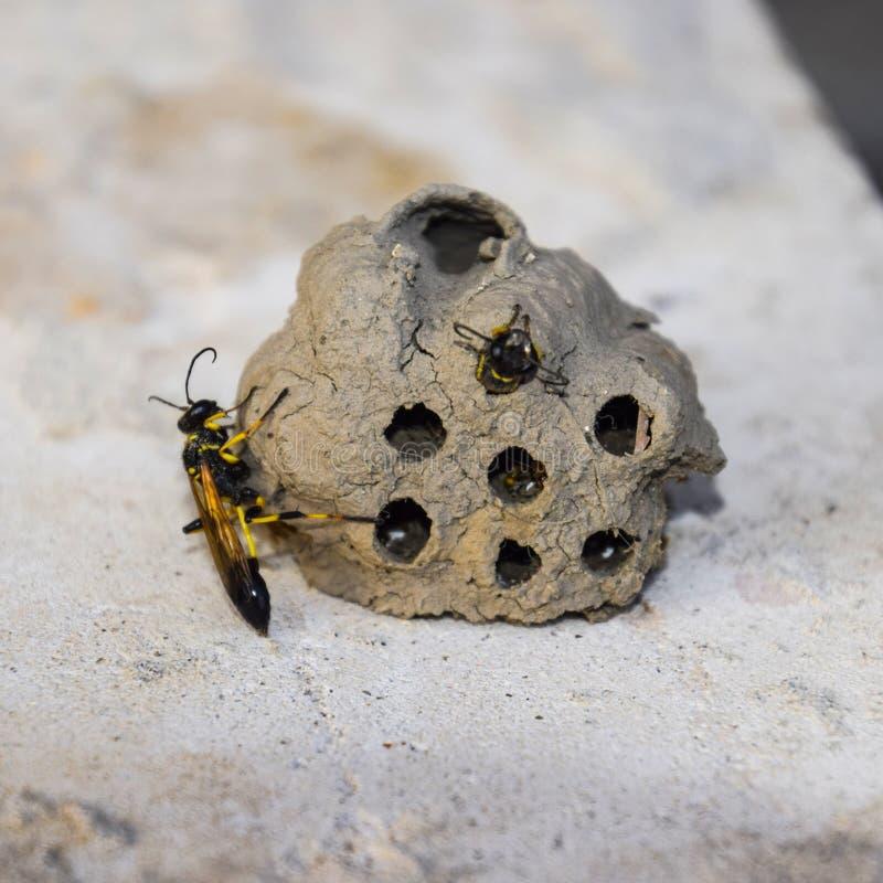 Σπάστε μια φωλιά των hornet του αργίλου Φωλιές της ανήκοντας σφήκας αργίλου Cla στοκ εικόνες