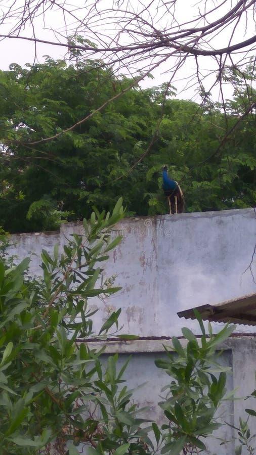 Σπίτι δέντρων peacock στοκ φωτογραφία