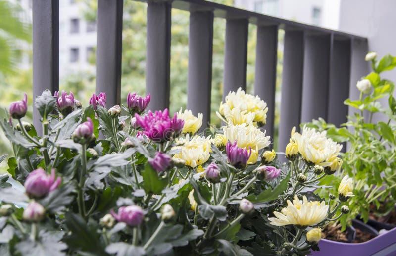 Σπίτι και έννοια κήπων των λουλουδιών χρυσάνθεμων στο μπαλκόνι στοκ φωτογραφίες με δικαίωμα ελεύθερης χρήσης