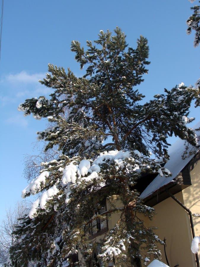 Σπίτι πεύκων φωτογραφιών το χειμώνα στοκ εικόνα με δικαίωμα ελεύθερης χρήσης