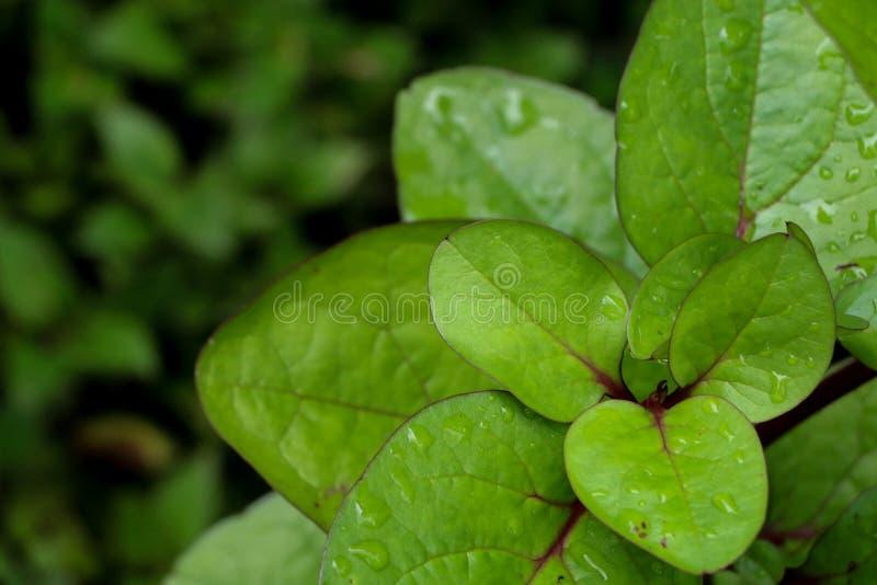Σπανάκι της Κεϋλάνης στον κήπο στοκ φωτογραφία με δικαίωμα ελεύθερης χρήσης