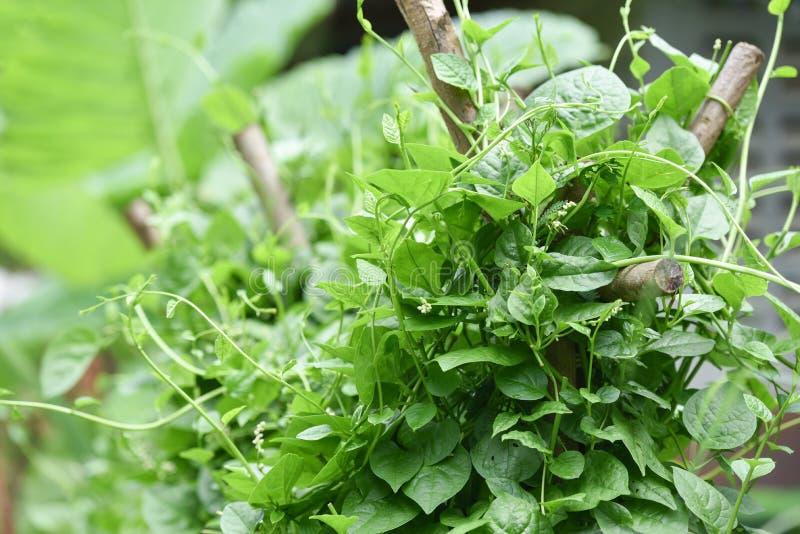 Σπανάκι της Κεϋλάνης στοκ φωτογραφίες