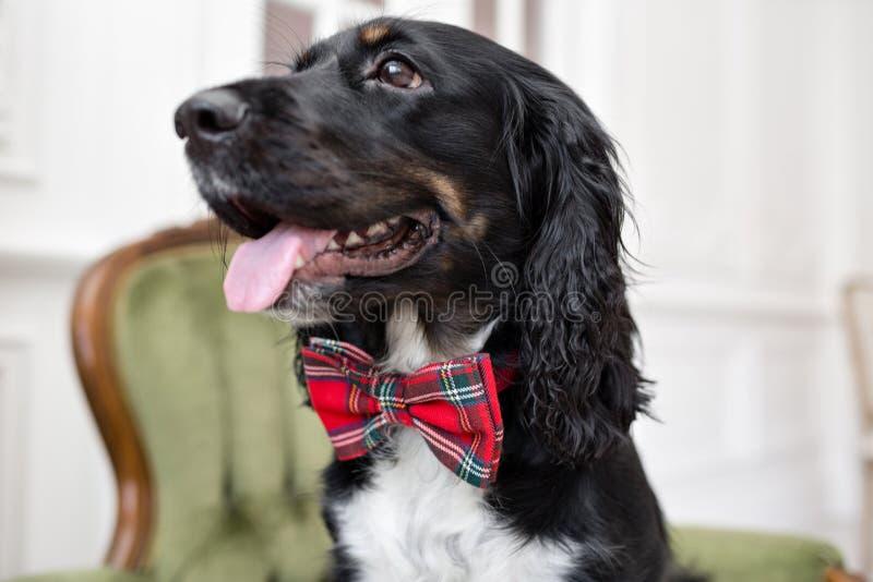Σπανιέλ σκυλιών σε έναν κόκκινο δεσμό τόξων στο εσωτερικό του ελαφριού δωματίου Η Pet είναι τρία χρονών καθμένος σε μια καρέκλα Κ στοκ φωτογραφίες