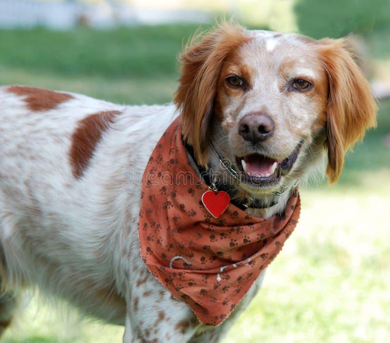 σπανιέλ σκυλιών της Βρετάνης στοκ εικόνα με δικαίωμα ελεύθερης χρήσης