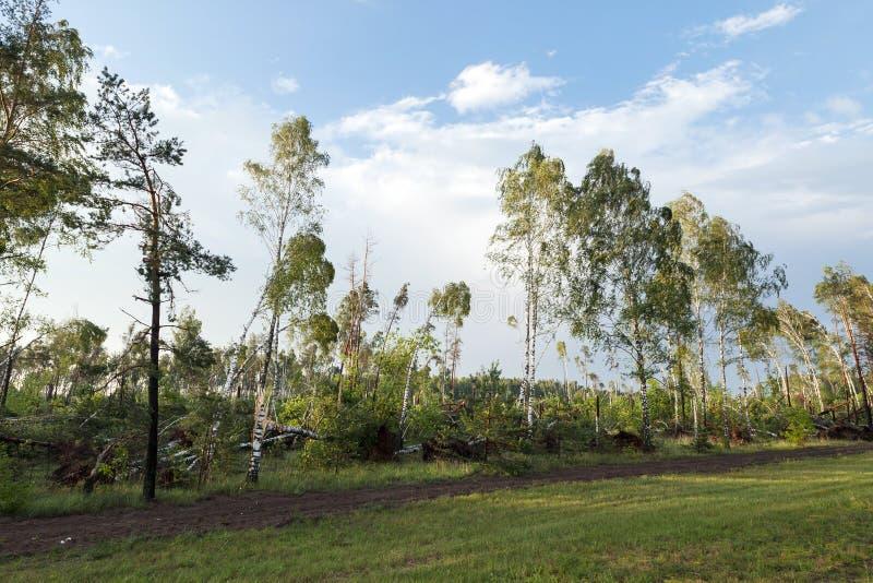 Σπασμένο δέντρο σημύδων μετά από μια θύελλα στοκ εικόνα με δικαίωμα ελεύθερης χρήσης