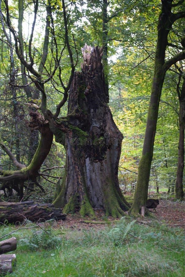 Σπασμένο κολόβωμα δέντρων στοκ εικόνες με δικαίωμα ελεύθερης χρήσης
