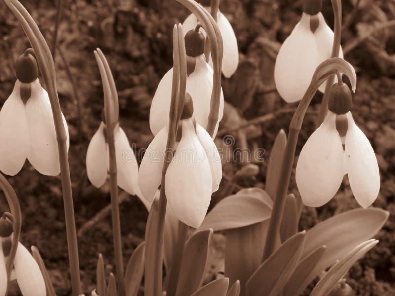 Σπινθήρισμα snowdrops στο φυσικό βιότοπό του Εικόνα φωτογραφιών χρώματος σεπιών στο αναδρομικό αγροτικό ύφος στοκ εικόνα με δικαίωμα ελεύθερης χρήσης