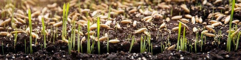 Σπορά και φύτευση των σπόρων και των οφθαλμών μικροβίων στο χώμα στοκ εικόνες