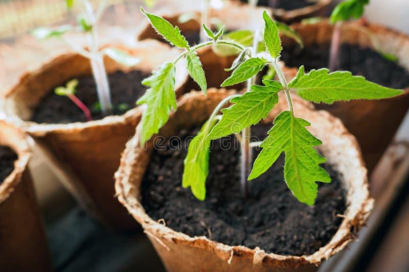 Σπορόφυτα άνοιξη στο windowsill, νεαρός βλαστός της ντομάτας στο δοχείο τύρφης, εκλεκτική εστίαση στοκ φωτογραφία με δικαίωμα ελεύθερης χρήσης