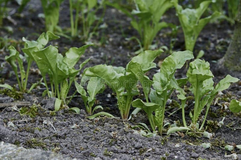 Σπορόφυτα άσπρων τεύτλων στο φυτικό κήπο στοκ φωτογραφίες