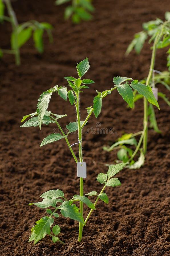 Σπορόφυτα ντοματών που αυξάνονται για τον κήπο Δενδρύλλια ντοματών στο θερμοκήπιο την άνοιξη στοκ εικόνα