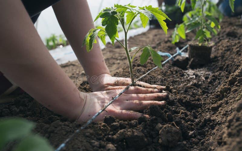 Σπορόφυτα ντοματών που φυτεύουν στο θερμοκήπιο στοκ εικόνα