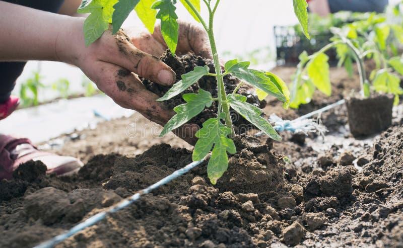 Σπορόφυτα ντοματών που φυτεύουν στο θερμοκήπιο στοκ φωτογραφίες με δικαίωμα ελεύθερης χρήσης