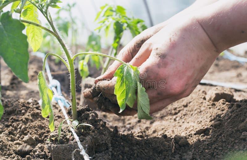 Σπορόφυτα ντοματών που φυτεύουν στο θερμοκήπιο στοκ φωτογραφία με δικαίωμα ελεύθερης χρήσης