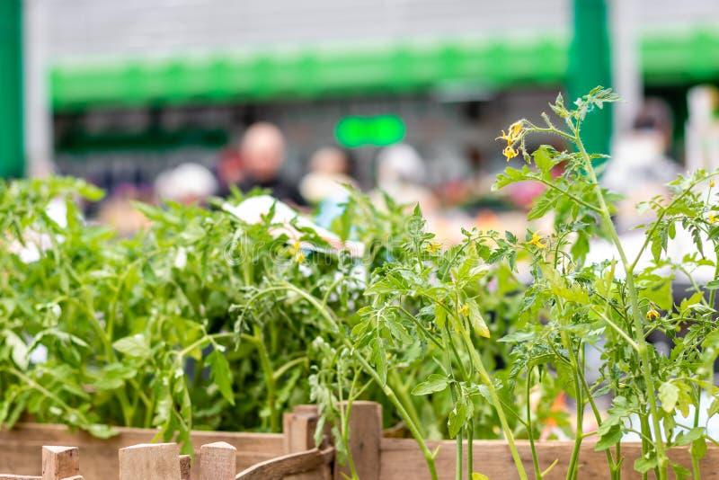Σπορόφυτα ντοματών στην αγορά στοκ φωτογραφία με δικαίωμα ελεύθερης χρήσης