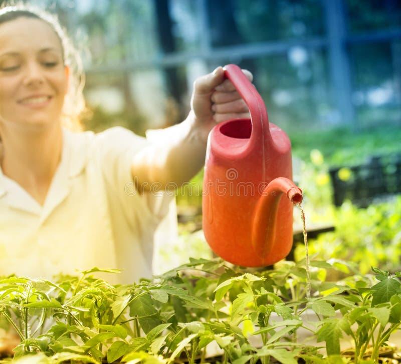 Σπορόφυτα ποτίσματος γυναικών στο θερμοκήπιο στοκ εικόνα με δικαίωμα ελεύθερης χρήσης