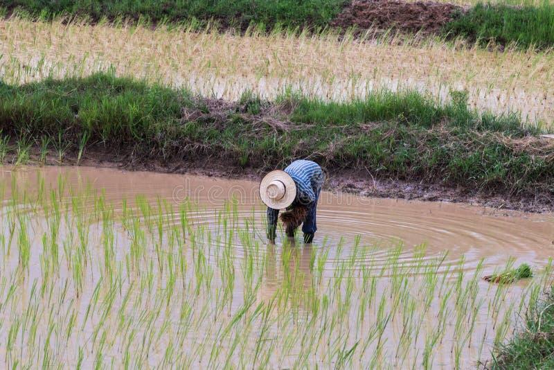 Σπορόφυτα ρυζιού μεταμόσχευσης γεωπόνων στοκ φωτογραφία με δικαίωμα ελεύθερης χρήσης