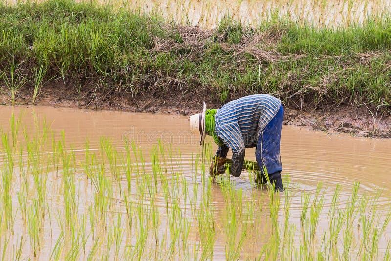 Σπορόφυτα ρυζιού μεταμόσχευσης γεωπόνων στοκ φωτογραφίες