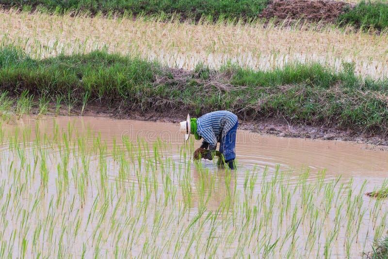 Σπορόφυτα ρυζιού μεταμόσχευσης γεωπόνων στοκ εικόνα