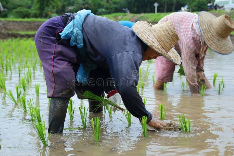 Σπορόφυτα ρυζιού μεταμόσχευσης στοκ εικόνες