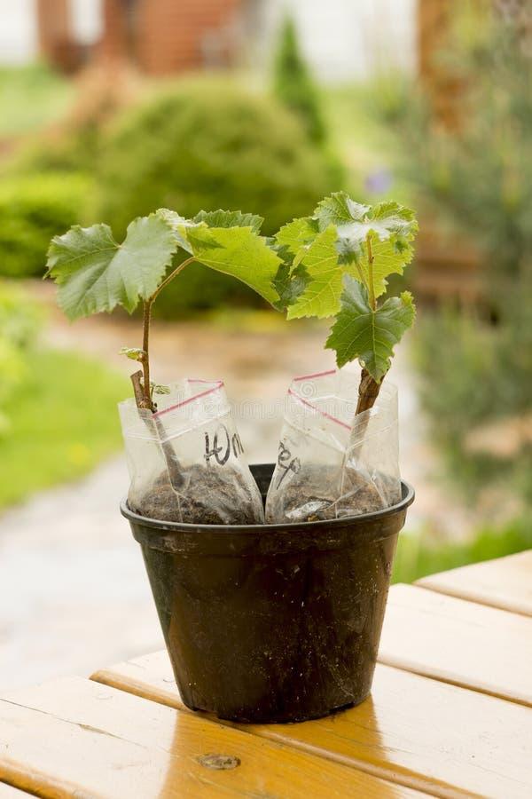 σπορόφυτα σταφυλιών με τα πολλαπλάσια φύλλα πράσινα στοκ εικόνα με δικαίωμα ελεύθερης χρήσης