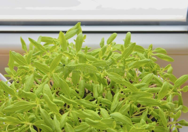 Σπορόφυτα των ντοματών πίσω από το παράθυρο Κινηματογράφηση σε πρώτο πλάνο στοκ φωτογραφίες