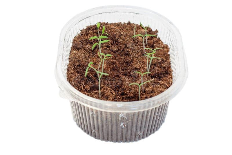 Σπορόφυτα των ντοματών στο κιβώτιο στοκ εικόνα με δικαίωμα ελεύθερης χρήσης