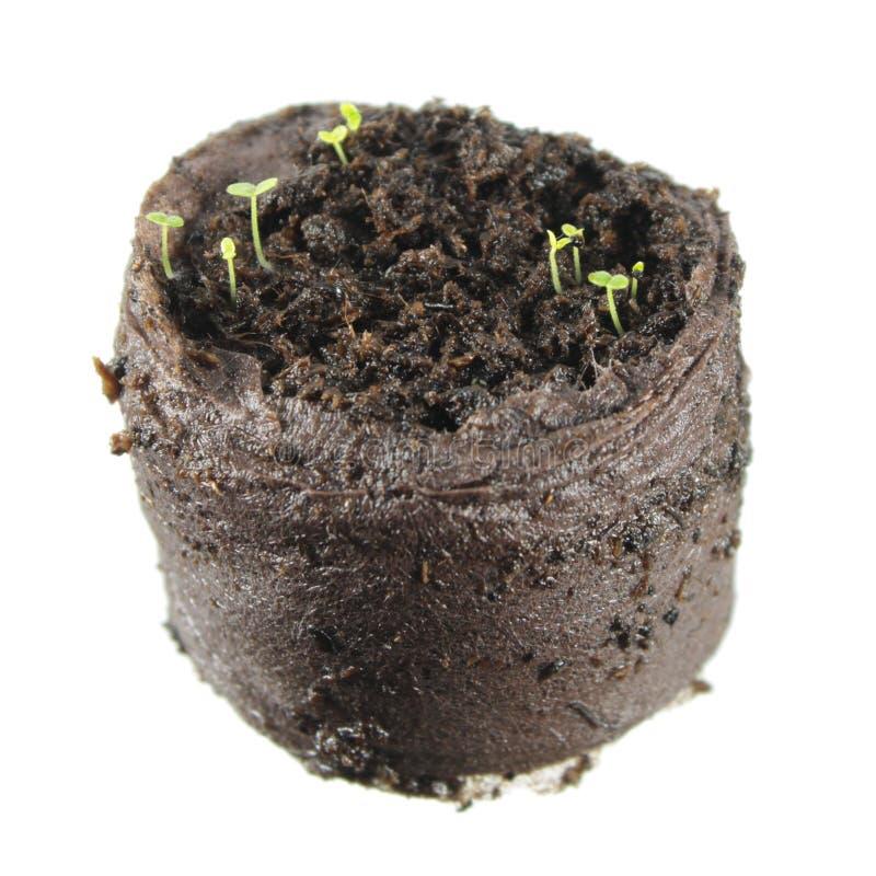 Σπορόφυτα Dicot με δύο πράσινα cotyledon φύλλα που απομονώνονται στο άσπρο υπόβαθρο Σπορόφυτο του snapdragon στοκ εικόνες