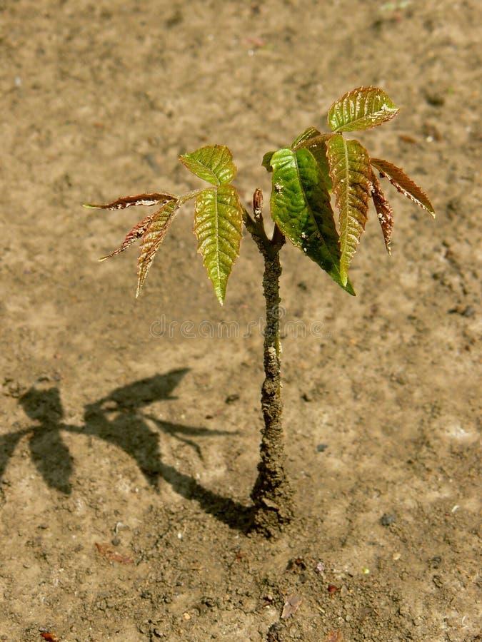 Σπορόφυτο δέντρων ξύλων καρυδιάς στοκ φωτογραφίες