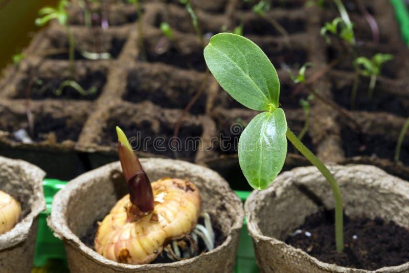 Σπορόφυτο εγκαταστάσεων dicot και βλασταίνοντας ενός βολβού ενός gladiolus στα δοχεία μιας τύρφης σε ένα windowsill στοκ φωτογραφία με δικαίωμα ελεύθερης χρήσης