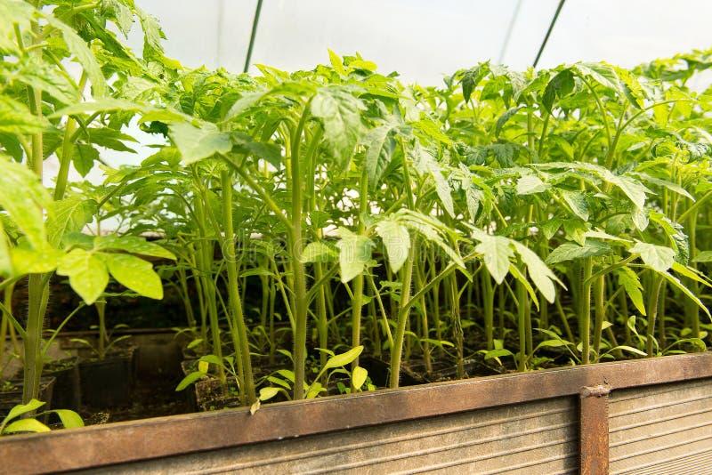 Σπορόφυτο ντοματών πρίν φυτεύει στο χώμα, εγκαταστάσεις θερμοκηπίων, άρδευση σταλαγματιάς, καλλιέργεια θερμοκηπίων των ντοματών σ στοκ εικόνα με δικαίωμα ελεύθερης χρήσης
