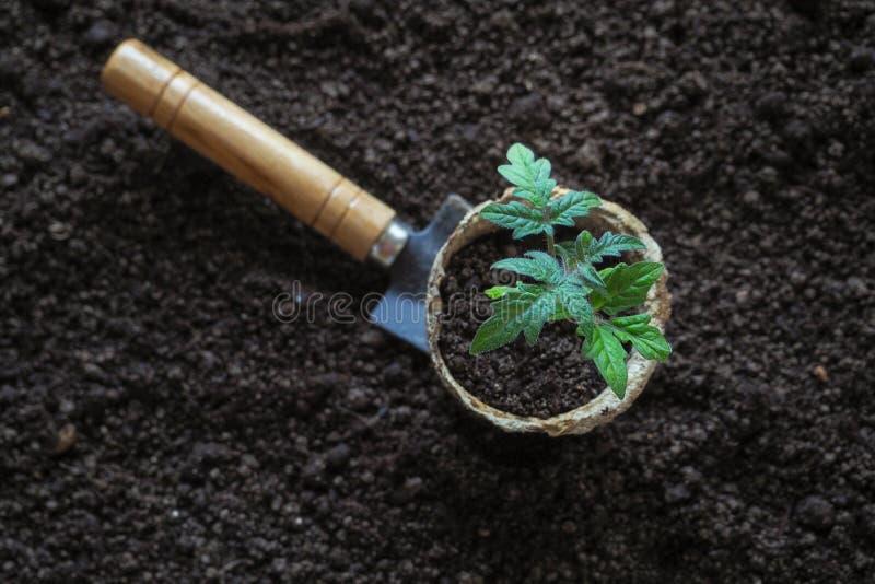 Σπορόφυτο ντοματών πρίν φυτεύει Φύτευση των νέων εγκαταστάσεων στοκ εικόνες με δικαίωμα ελεύθερης χρήσης