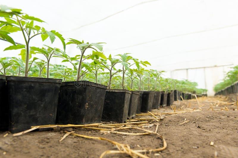 Σπορόφυτο ντοματών πριν από να φυτεψει στο χώμα, εγκαταστάσεις θερμοκηπίων, άρδευση σταλαγματιάς, καλλιέργεια θερμοκηπίων των ντο στοκ φωτογραφία