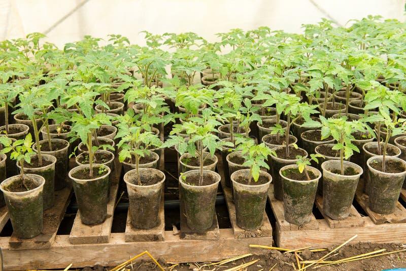Σπορόφυτο ντοματών πριν από να φυτεψει στο χώμα, εγκαταστάσεις θερμοκηπίων, άρδευση σταλαγματιάς, καλλιέργεια θερμοκηπίων των ντο στοκ εικόνες