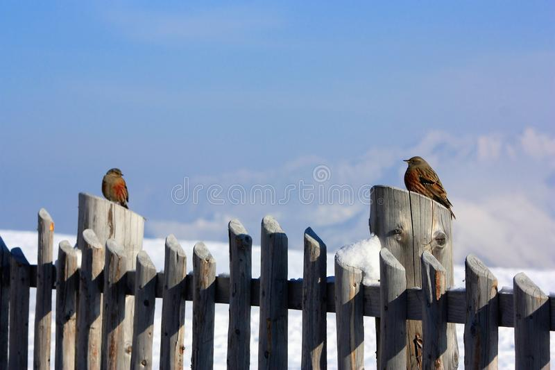 σπουργίτια δύο φραγών ξύλινα στοκ φωτογραφία με δικαίωμα ελεύθερης χρήσης