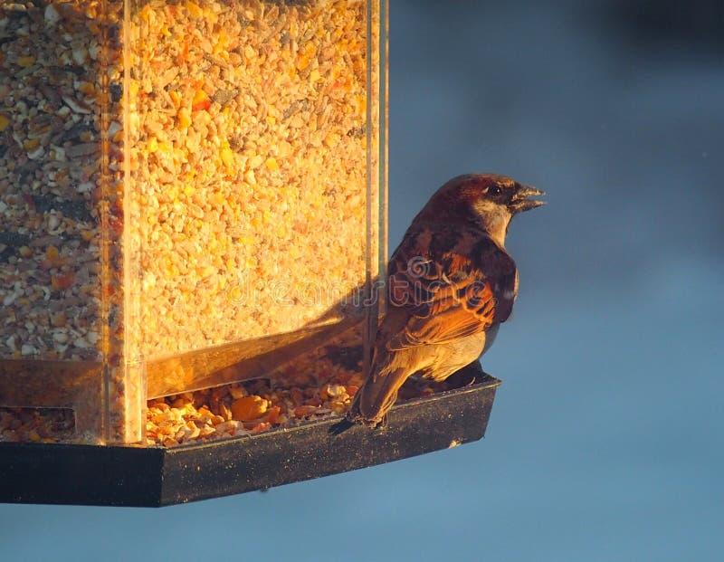 Σπουργίτι ή πομπός Domesticus σπιτιών στον τροφοδότη πουλιών στοκ φωτογραφίες με δικαίωμα ελεύθερης χρήσης