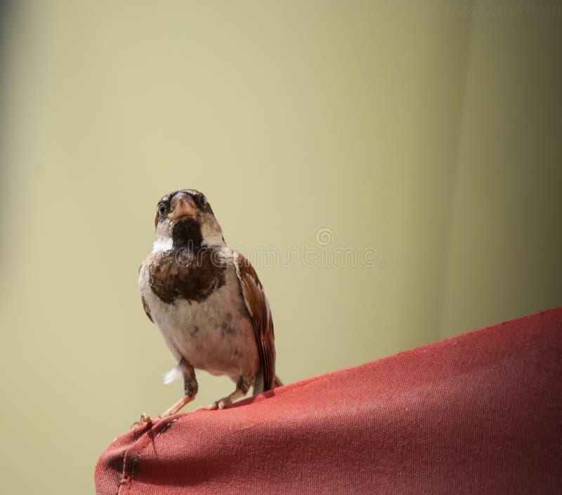 Σπουργίτι κόκκινο awning στοκ εικόνες με δικαίωμα ελεύθερης χρήσης