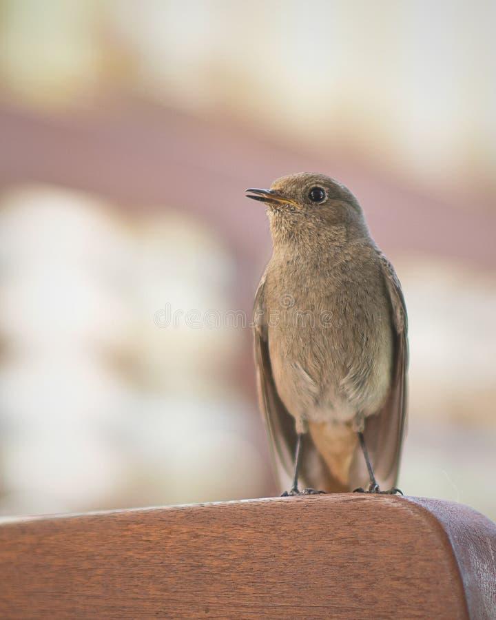Σπουργίτι πουλιών ηρώων που κοιτάζει με το μαυρισμένο μάτι, που στέκεται κατ' ευθείαν στοκ φωτογραφίες