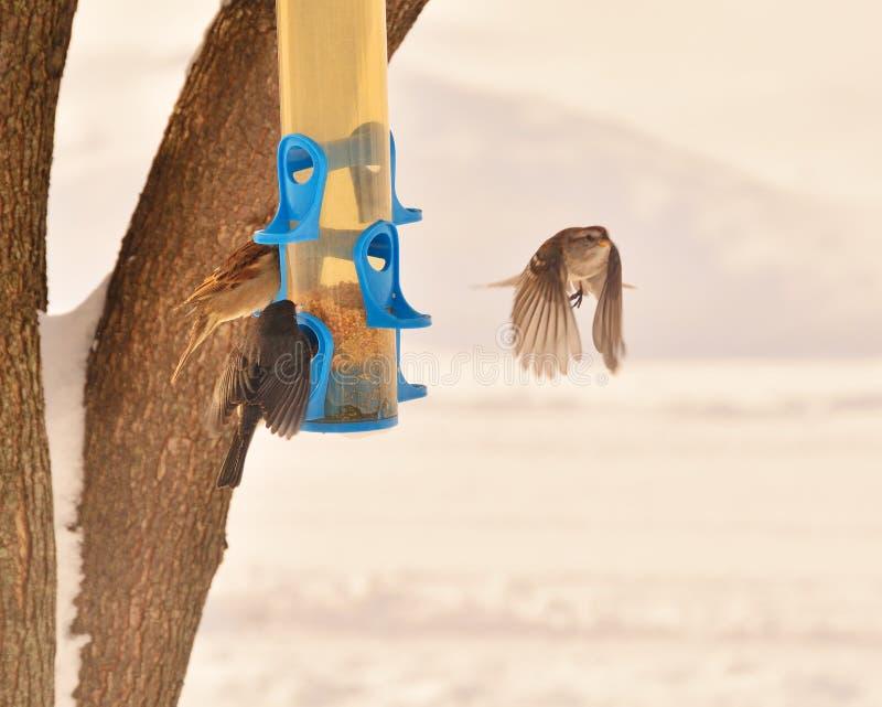 Σπουργίτι που πετά μακρυά από το χειμερινό τροφοδότη στοκ εικόνα