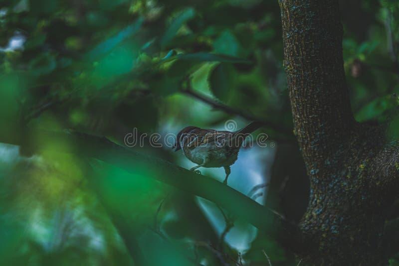 Σπουργίτι στον κλάδο δέντρων στοκ εικόνες