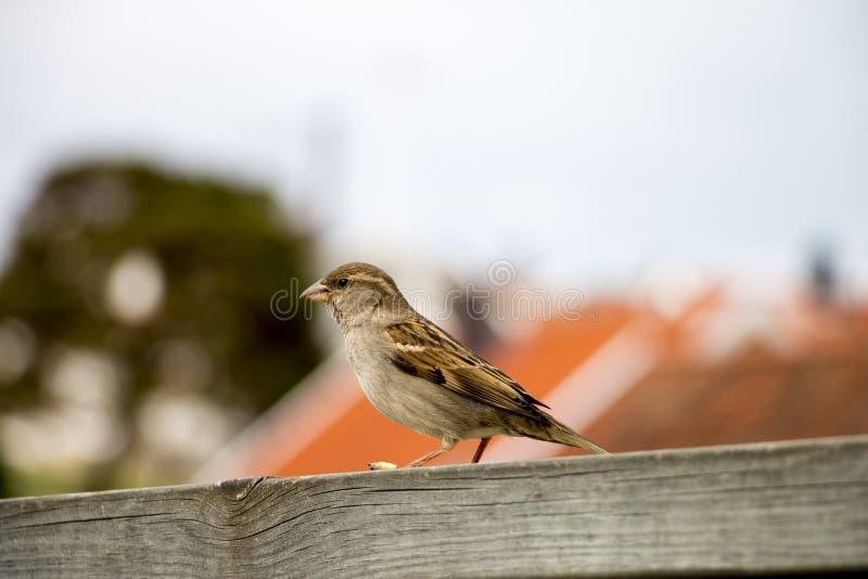 Σπουργίτι στοκ φωτογραφίες με δικαίωμα ελεύθερης χρήσης