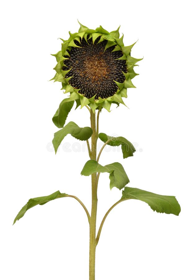 Σπόροι ηλίανθων ώριμοι που απομονώνει στο άσπρο υπόβαθρο Λουλούδι χωρίς πέταλα, γεωργία, φύση, τρόφιμα έννοια δημιουργική Επίπεδο στοκ φωτογραφίες με δικαίωμα ελεύθερης χρήσης