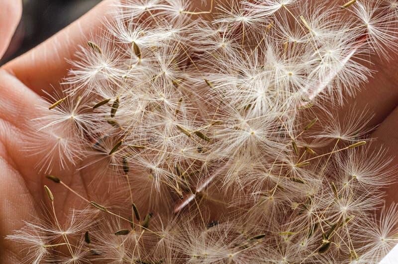 Σπόροι πικραλίδων σε ετοιμότητα στοκ εικόνα με δικαίωμα ελεύθερης χρήσης