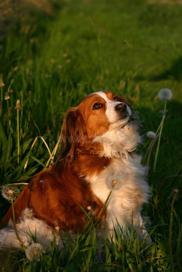 σπόροι σκυλιών πικραλίδω&n Στοκ φωτογραφία με δικαίωμα ελεύθερης χρήσης