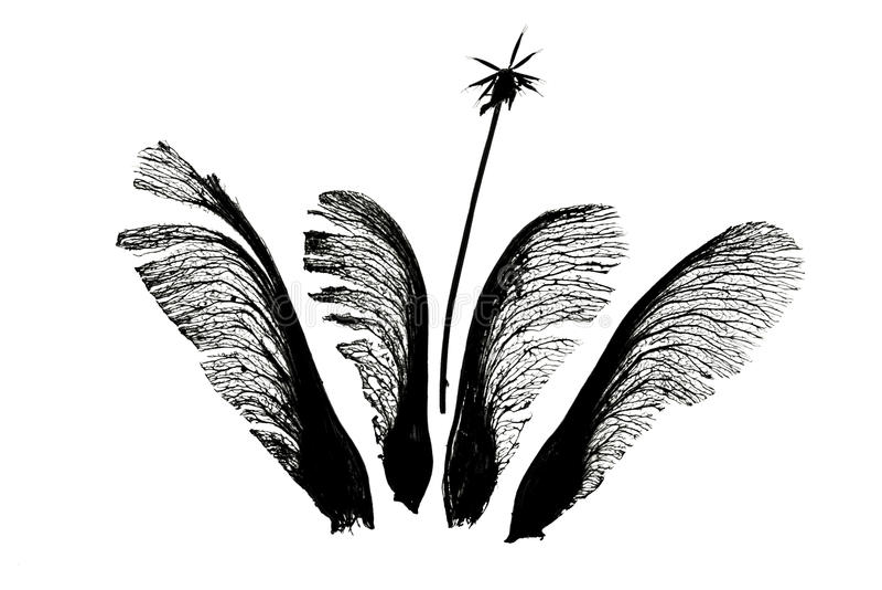 Σπόροι σφενδάμνου quartett με τα bidens στοκ εικόνες με δικαίωμα ελεύθερης χρήσης
