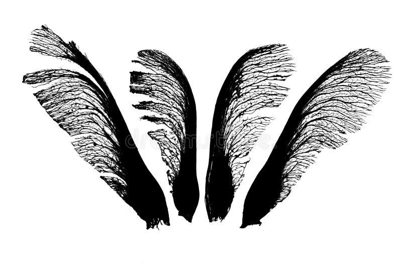 Σπόροι σφενδάμνου quartett στοκ εικόνες με δικαίωμα ελεύθερης χρήσης