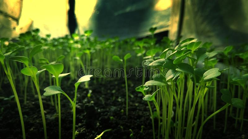 Σπόροι των πρασίνων μουστάρδας στοκ φωτογραφίες με δικαίωμα ελεύθερης χρήσης