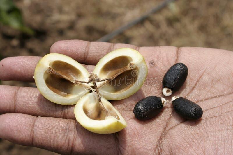 σπόροι jetropha
