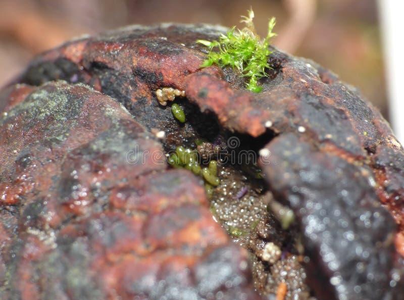Σπόρος αβοκάντο με το springtail και τα άκαρια στοκ φωτογραφία