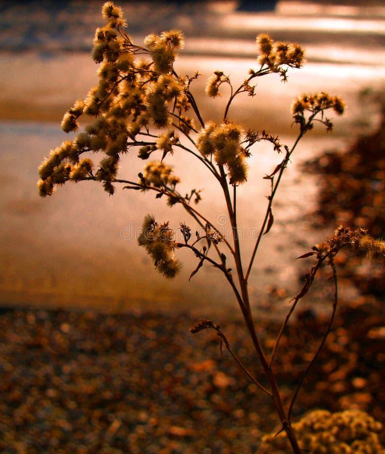 Σπόρος-κεφάλια στα άγρια λουλούδια που πιάνουν την ηλιοφάνεια βραδιού στοκ εικόνες